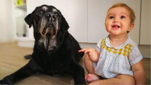 a labrador sitting next to a baby
